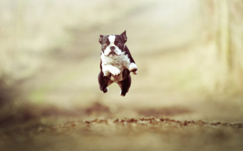 beautiful and fun Boston Terrier dog puppy running and jump